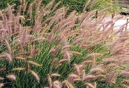 0664-s_grass_dwarf_fountain_grass_beige_feathers_so_21