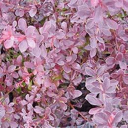 Berberis_CrimsonPygmy3001