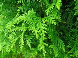 Podlaskie_-_Suprasl_-_Kopna_Gora_-_Arboretum_-_Thuja_occidentalis_Brabant_-_branch1