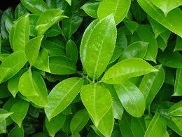 Prunus_laurocerasus_Rotundifolia_detail_grt1