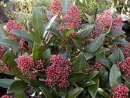 Skimmia-japonica-rubella1