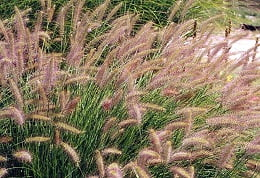 0664-s_grass_dwarf_fountain_grass_beige_feathers_so_21