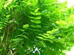 Podlaskie_-_Suprasl_-_Kopna_Gora_-_Arboretum_-_Robinia_pseudoacacia_Umbraculifera_-_branch1