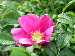 Rosa20Rugosa1