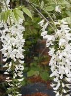 Wisteria-sinensis-Alba1