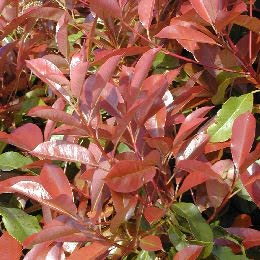 photinia_fraseri_red_robin_011